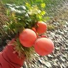 山上摘的柿子