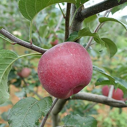 齐鲁荟 丨 大凉山盐源丑苹果 8斤